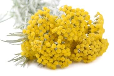 64499582 - helichrysum flowers isolated on white background