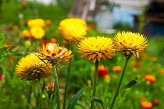 46084351 - yellow helichrysum paper daisy straw flower. helichrysum or straw flower in outdoor garden. yellow straw flowers, scientific name is helichrysum bracteatum.