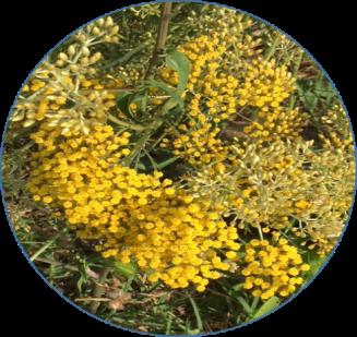 Helicryse